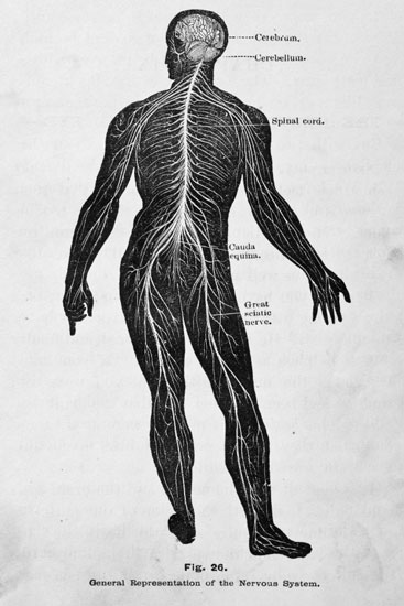 Illustration of the Nervous System