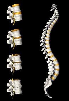 illustration of the spine